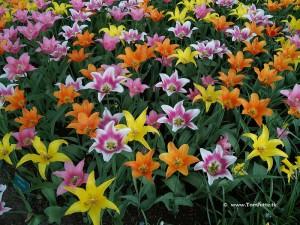 2 lilie ogrod